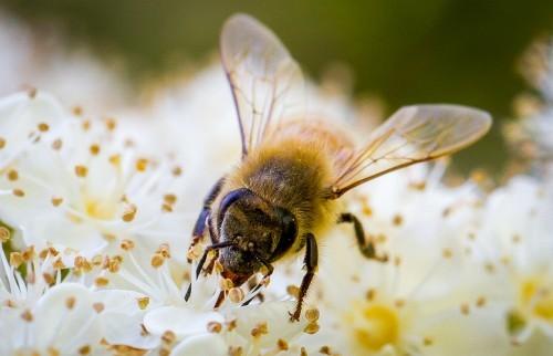 buzzforbees